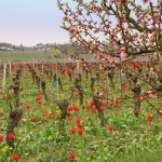 Vignes et tulipes - Photo Alain Bry