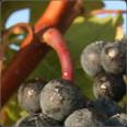 Les premières cuvées de vin de Bordeaux rouge !